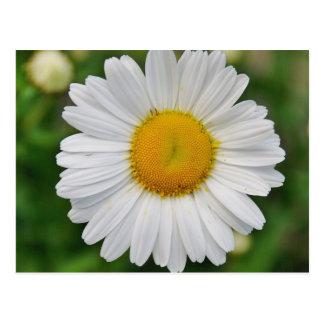 Single Daisy Flower Postcard