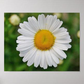 Single Daisy Flower Poster