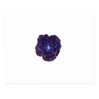 Single Dark Blue Tea Rose Postcard