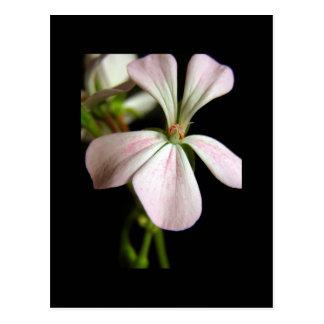 Single-flowered Pelargonium zonale Postcard