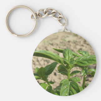 Single fresh basil plant growing in the field keychain