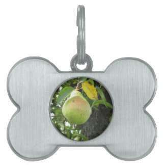 Single green pear hanging on the tree pet tag