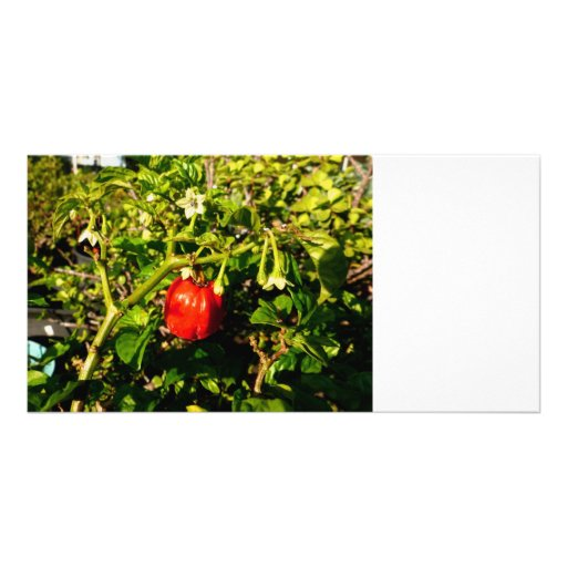 single habanero red pepper in plant photo greeting card