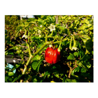 single habanero red pepper in plant postcard