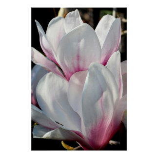 Single Magnolia Flower Posters