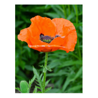 Single orange poppy flower postcard