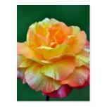 Single orange tea rose postcard