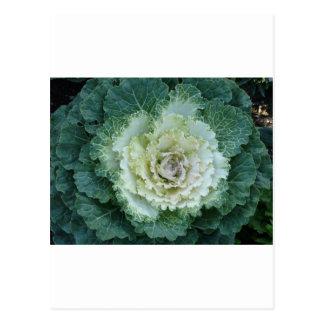 single ornamental kale postcard