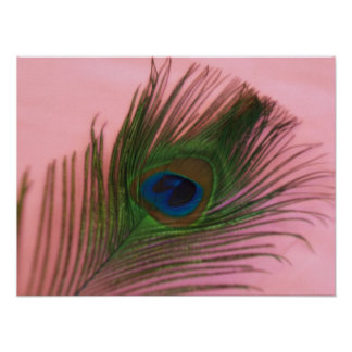 Single Peacock Feather with Pink Poster