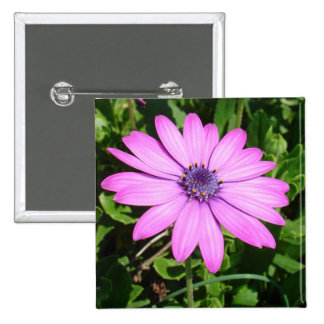 Single Pink African Daisy Against Green Foliage Button