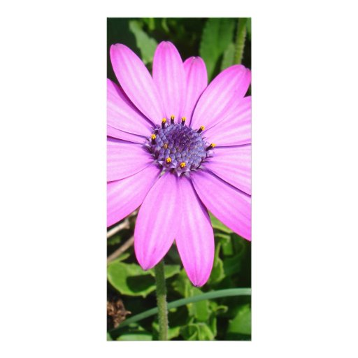 Single Pink African Daisy Against Green Foliage Full Color Rack Card