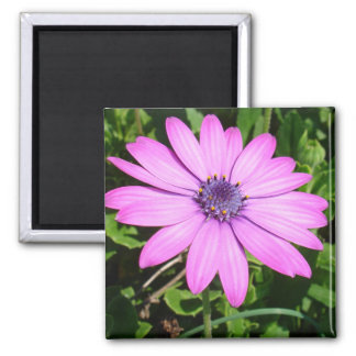 Single Pink African Daisy Against Green Foliage Refrigerator Magnet