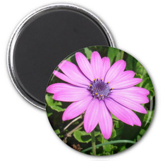 Single Pink African Daisy Against Green Foliage Fridge Magnets