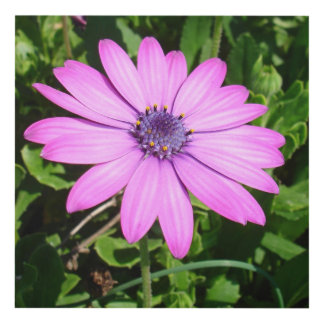 Single Pink African Daisy Against Green Foliage Panel Wall Art
