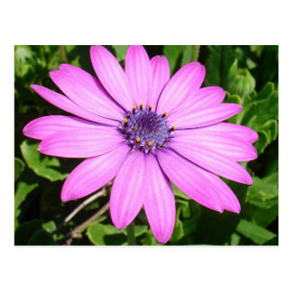Single Pink African Daisy Against Green Foliage Post Card