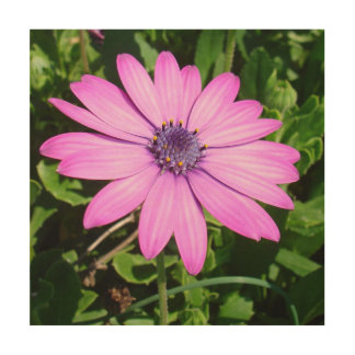 Single Pink African Daisy Against Green Foliage Wood Wall Art