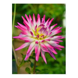 Single pink and white dahlia flower postcard