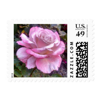 Single pink and white rose on a postage stamp