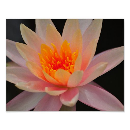 Single Pink Lotus Blossom Poster
