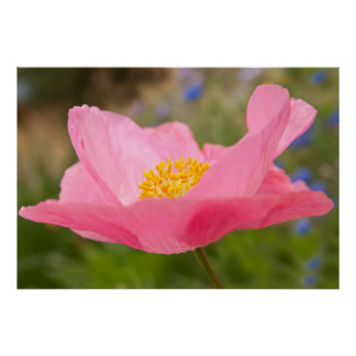 Single Pink Poppy Photograph Close-up Poster