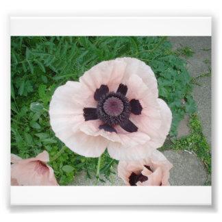 Single Pink Poppy Surrounded Photo