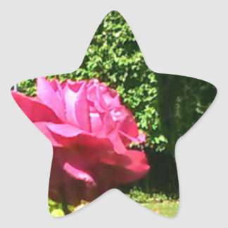 Single Pink Rose in Bloom photograph Star Sticker