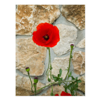 Single poppy flower and a stone wall behind it postcard