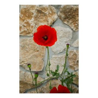 Single poppy flower and a stone wall behind it poster
