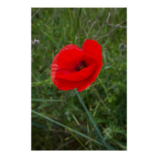 Single poppy flower photo poster