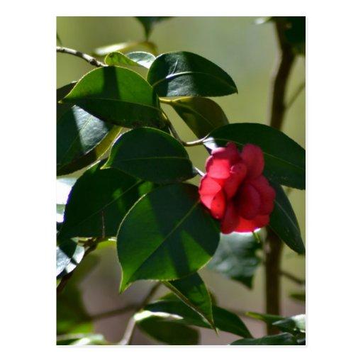 Single Red Flower Postcard