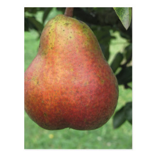 Single red pear hanging on the tree postcard
