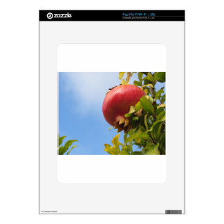 Single red pomegranate fruit on the tree in leaves skin for iPad