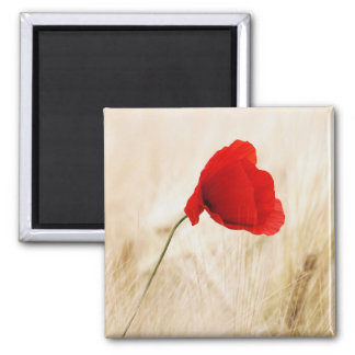Single Red Poppy in a Grassy Field 2 Inch Square Magnet