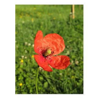 Single Red Poppy in Garden Postcard