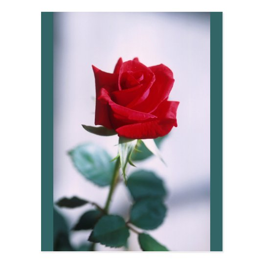 Single Red Rose Flower Postcard