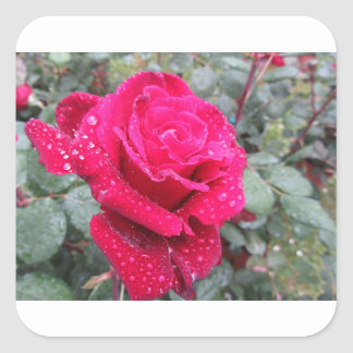 Single red rose flower with water droplets square sticker