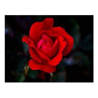Single Red Rose... Postcard