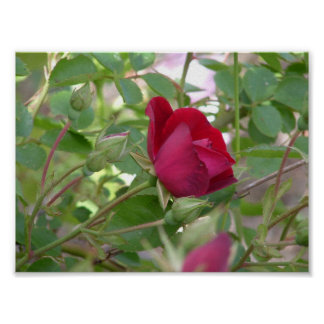 Single Red Rose Print