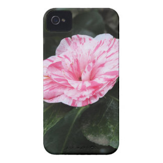 Single red streaked white flower Camellia japonica iPhone 4 Cover