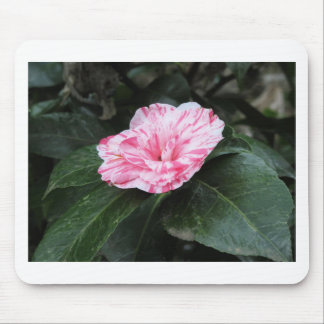 Single red streaked white flower Camellia japonica Mouse Pad