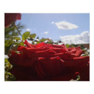 Single rose with Blue sky background Poster