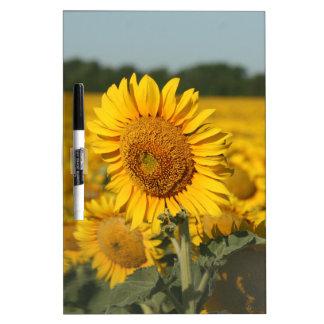 Single Sunflower in a Field of Sunflowers Dry Erase Whiteboard