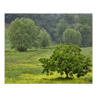 Single tree in agricultural farm field, Tuscany, 2 Posters