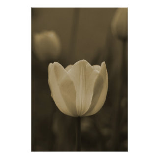 Single Tulip flower in sepia tone on canvas Poster