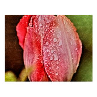 Single Tulip photographed by Tutti Postcard