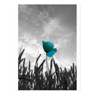 Single Turquoise poppy in a wheat field Postcard
