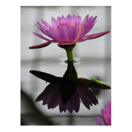 Single Water Lily Post Card