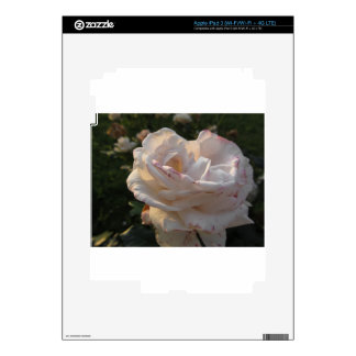 Single white and red streaked rose flower iPad 3 skins