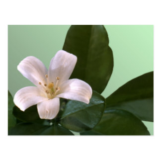 Single White Blossom Postcard