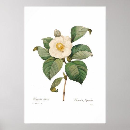 Single White Camellia Poster